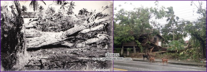 5-ต้นไม้ใหญ่ยังโคนล้มเมื่อโดนลมพายุ-copy-horz copy